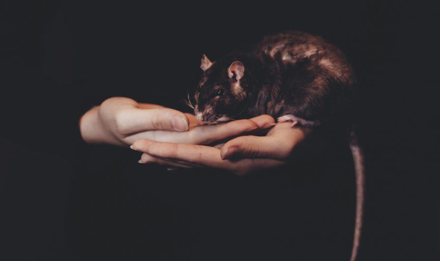 im hiding- rat