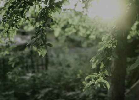 In a garden, a close up of a tree with small, delicate, green leaves. The sun shines brightly from the right.