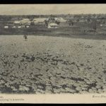 Black and white photograph of a sheep farm. There are farmhouses in the back and lots of sheep.