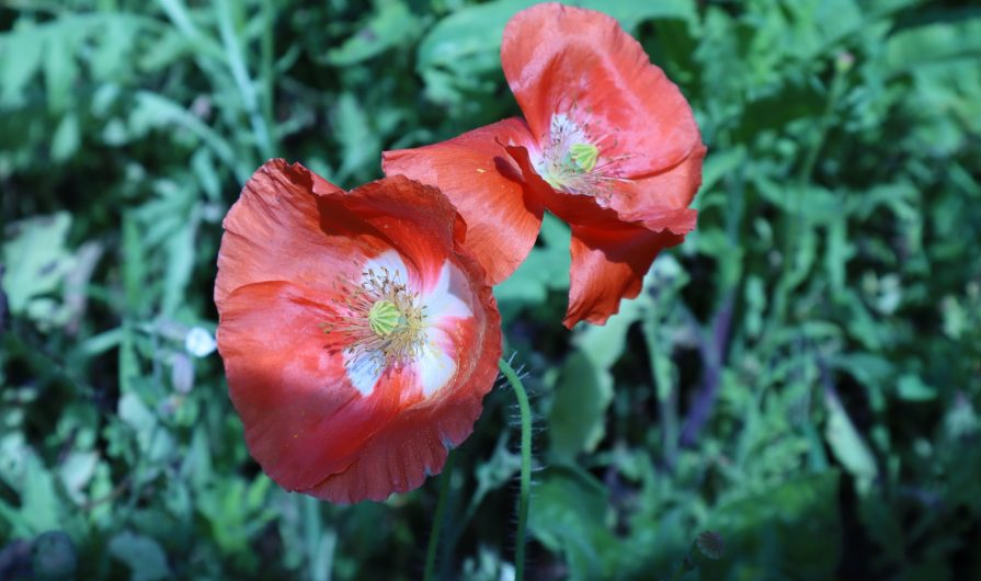 Two red poppies in front of a lot of green leaves